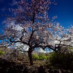 The almond trees in bloom in Tenerife, prelude to spring