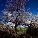 Die blühenden Mandelbäume auf Teneriffa, Auftakt zum Frühling