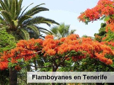 Flamboyan-Tenerife