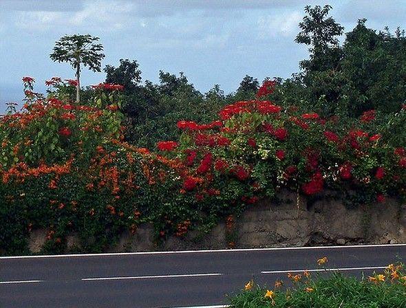 Flor de pascua en carreteras de Tenerife