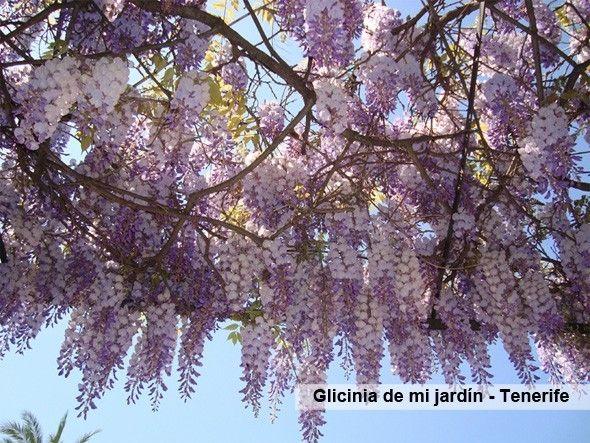 Glicinia_mi_jardin_Tenerife
