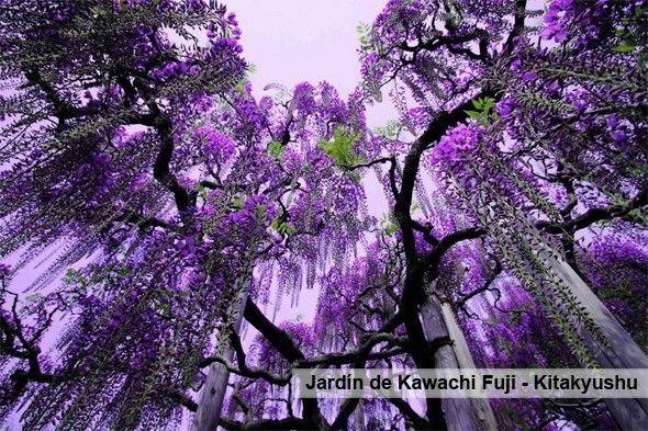 Jardin_Kawachi_fuji_Japon_Tenerife