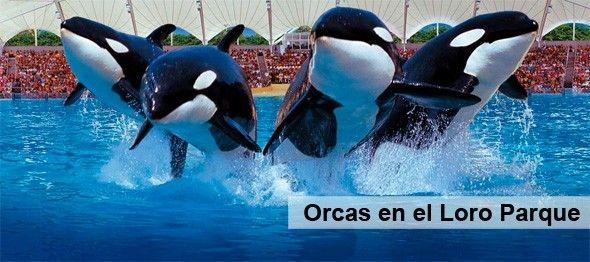 Orcas_Loro_Parque_Tenerife