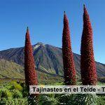 Das Tajinastes del Teide – Teneriffa