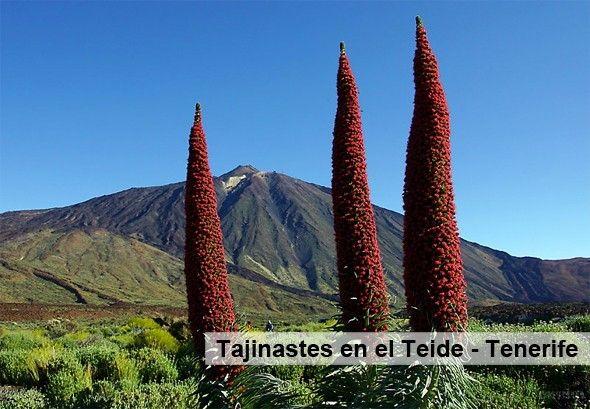 Tajinastes_en_el_Teide_Tenerife
