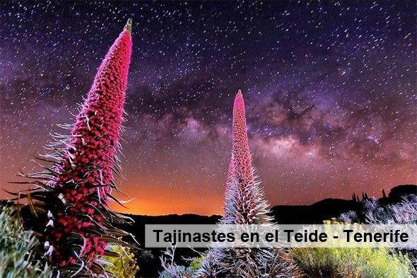 Teneirfe_Tajinastes_en_el_Teide