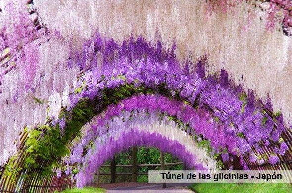 Tunel_glicinias_Japon_Teneirfe