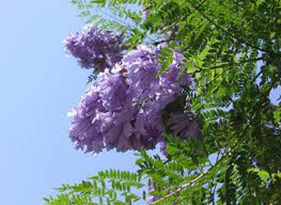 Primavera en Tenerife, la Jacaranda en flor