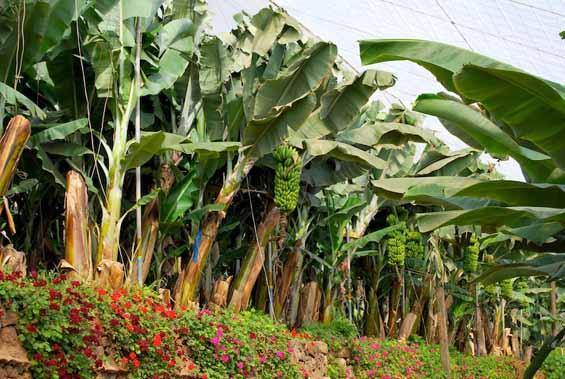 Excursión plantación plátano de Canarias