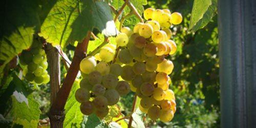 Con esta uva se elabora el vino de Tegueste